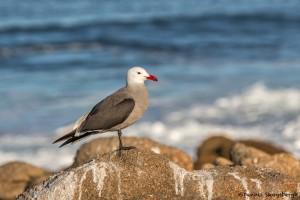 4120 Heermann's Gull (Larus heermanni), Asilomar Beach, Big Sur, CA