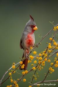 4125 Male Pyrrhuloxia (Cardinalis sinuatus), Rio Grande Valley, TX