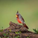4126 Adult Male Pyrrhuloxia (Cardinalis sinuatus), Rio grande Valley, TX