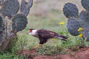 4127 Adult Crested Caracara (Caracara cheriway), Rio Grande Valley, TX