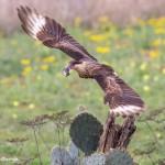 4128 Juvenile Crested Caracara ( Caracara cheriway), Rio Grande Valley, TX