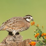 4130 Northern Bobwhite (Colinus virginianus), Rio Grande Valley, TX