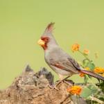 4131 Female Pyrrhuloxia (Cardinalis sinuatus), Rio Grande Valley, TX