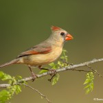4133 Female Northern Cardinal (Cardinalis cardinalis), Rio Grande Valley, TX