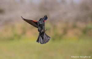 4135 Male Red-winged Blackbird (Agelaius phoeniceus), Rio Grande Valley, TX