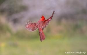 4137 Male Northern Cardinal (Cardinalis cardinalis), Rio Grande Valley, TX