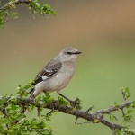 4141 Northern Mockingbird (Minimus polyglottos), Rio Grande Valley, TX