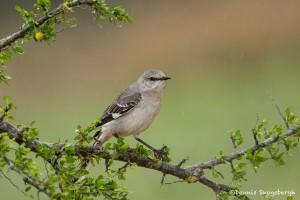 4141 Northern Mockingbird (Minimus polyglottos), Rio Grande Valley, TX