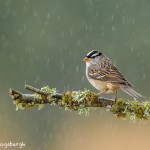 4142 White-crowned Sparrow (Zonotrichia leucophrys), Rio Grande Valley, TX