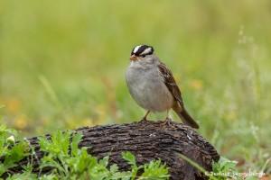 4143 White-crowned Sparrow (Zonotrichia leucophyrs), Rio Grande Valley, TX