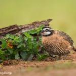 4144 Northern Bobwhite (Colinus virginianus), Rio Grande Valley, TX