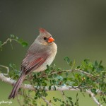 4145 Female Northern Cardinal (Cardinalis cardinalis), Rio Grande Valley, TX
