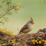 4147 Female Northern Cardinal (Cardinalis cardinalis), Rio Grande Valley, TX