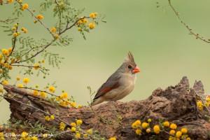 4147 Female Northern Cardinal (Cardinalis cardinalis), Rio Grande Valley, TX