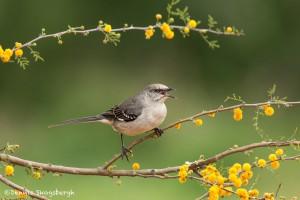 4148 Northern Mockingbird (Mimus polyglottos), Rio Grand Valley, TX