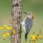 4151 Male Golden-fronted Woodpecker (Melanerpes aurifrons), Rio Grande Valley, TX