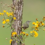 4152 Orange-crowned Warbler (Oreothlypis celata), Rio Grande Valley, TX