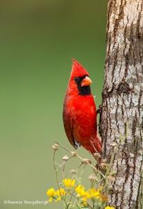 4153 Male Northern Cardinal (Cardinalis cardinalis), Rio Grande Valley, TX