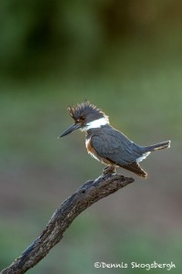 4154 Female Belted Kingfisher (Megaceryle aleyon), Rio Grande Valley, TX