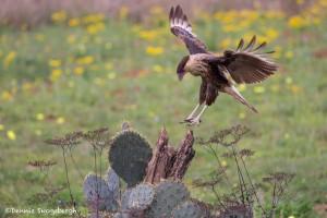 4155 Juvenile Crested Caracara (Caracara cheriway), Rio Grande Valley, TX