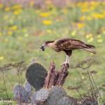 4156 Juvenile Crested Caracara (Caracara cheriway), Rio Grande Valley, TX