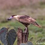 4157 Juvenile Crested Caracara (Caracara cheriway), Rio Grande Valley, TX