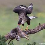 4158 Adult Crested Caracara (Caracara cheriway), Rio Grande Valley, TX