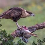 4159 Juvenile Crested Caracara (Caracara cheriway), Rio Grande Valley, TX