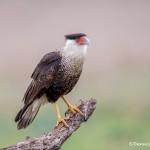 4160 Adult Crested Caracara (Caracara cheriway), Rio Grande Valley, TX