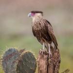 4162 Juvenile Crested Caracara (Caracara cheriway), Rio Grande Valley, TX
