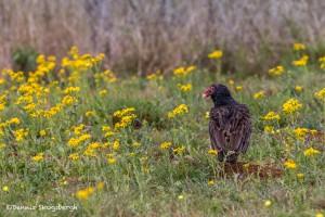 4162 Turkey Vulture (Cathartes aura), Rio Grande Valley, TX