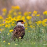 4163 Adult Crested Caracara (Caracara cheriway), Rio Grande Valley, TX