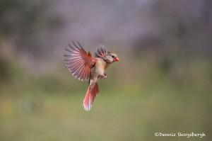 4171 Female Northern Cardinal (Cardinalis cardinalis), Rio Grande Valley, TX