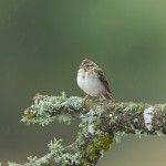 4172 Clay-colored Sparrow (Spizella pallida), Rio Grande Valley, TX
