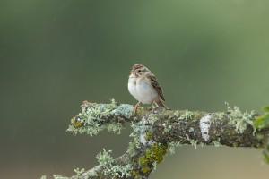 4172 Clay-colored Sparrow (Spizella pallida), Rio Grande Valley, TX