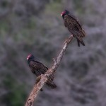 4173 Turkey Vultures (Cathartes aura), Rio Grande Valley, TX