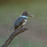 4174 Female Belted Kingfisher (Megaceryle alcyon), Rio Grande Valley, TX