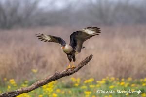 4175 Adult Crested Caracara (Caracara cheriway), Rio Grande Valley, TX
