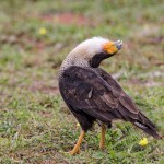 4176 Adult Crested Caracara (Caracara cheriway), Courtship Display, Rio Grande Valley, TX