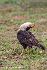 4176 Adult Crested Caracara (Caracara cheriway), Courtship Display, Rio Grande Valley, TX