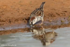 4177 House Sparrow (Passer domesticus), Rio Grande Valley, TX