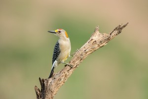 4178 Male Golden-fronted Woodpecker (Melanerpes aurifrons), Rio Grande Valley, TX