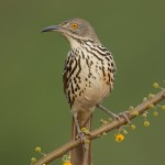 4179 Long-billed Thrasher (Toxostoma longirostre), Rio Grande Valley, TX