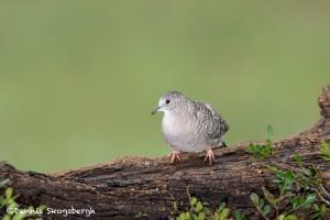 4181 Inca Dove (Columbina inca), Rio Grande Valley, TX