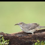 4182 Curve-billed Thrasher (Toxostoma curvirostre), Rio Grande Valley, TX