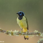 4183 Green Jay (Cyanocorax yneas), Rio Grande Valley, TX