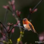 4186 Male Rufous Hummingbird (Selasphorus rufus), Vancouver Island, Canada