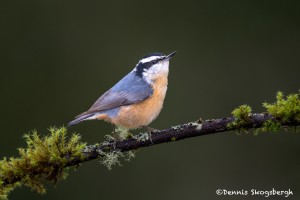 4187 Red-breasted Nuthatch (Sitta canadensis), Vancouver Island, Canada