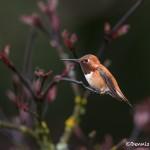 4188 Male Rufous Hummingbird (Selasphorus rufus), Vancouver Island, Canada