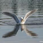 4191 Glacous Gull (Larus hyperboreus), Vancouver Island, Canada